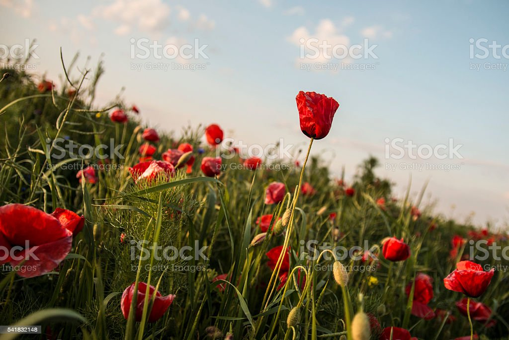 Red poppy wildflowers stock photo