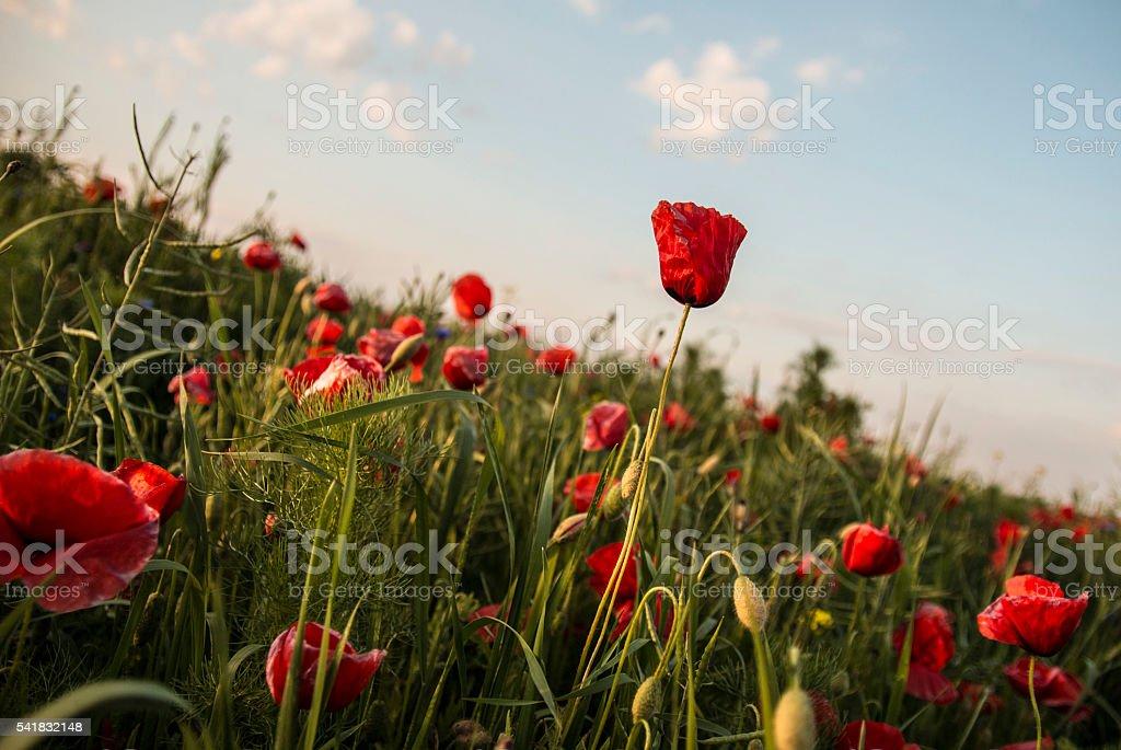 Red poppy wildflowers stock photo