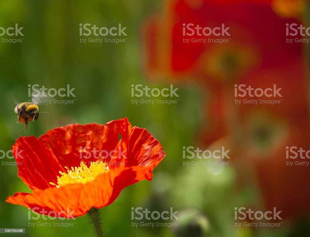 Red Poppy with Bee flying stock photo