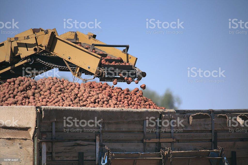 Red Potato Harvest stock photo