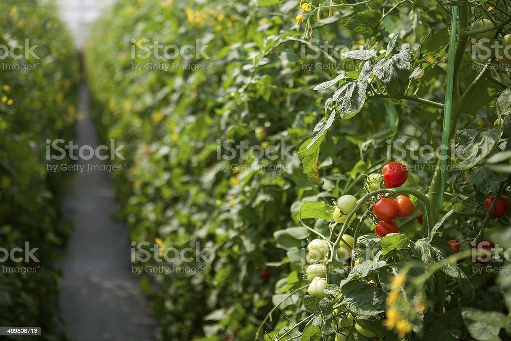 Rote Kartoffel in der farm Lizenzfreies stock-foto