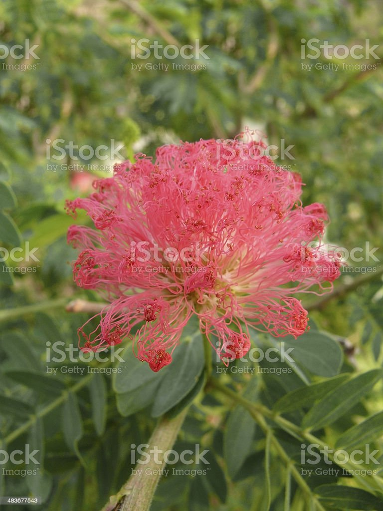 Red Powder Puff, Calliandra haematocephala stock photo
