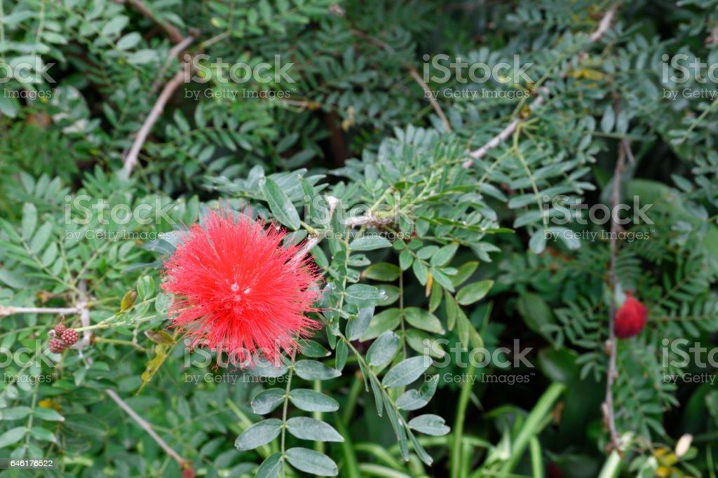 Red powder puff flower (Calliandra haematocephala) stock photo