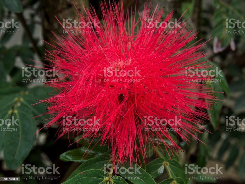 Red Powder Puff or Calliandra haematocephala Hassk with raindrops stock photo