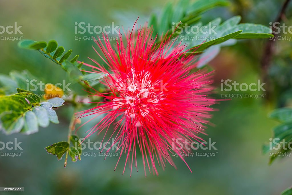 Red Powderpuff flower and green leaf stock photo