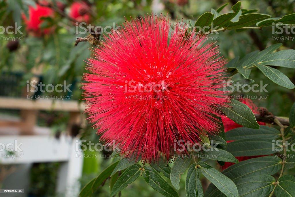 Red Powderpuff Flower stock photo
