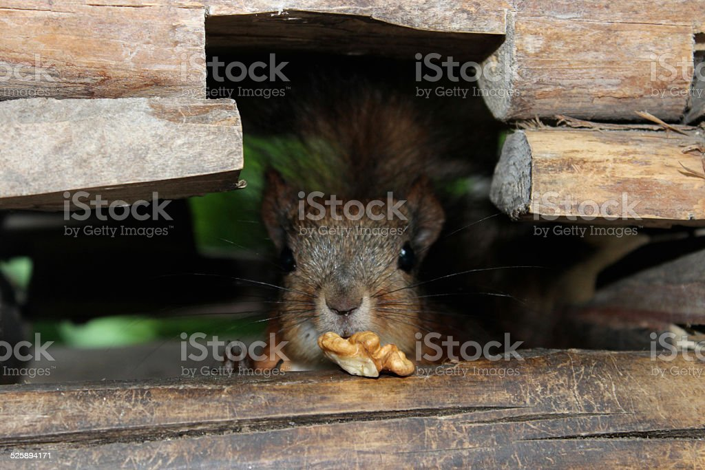 Red pretty squirrel with a nut in the wood scratch royalty-free stock photo