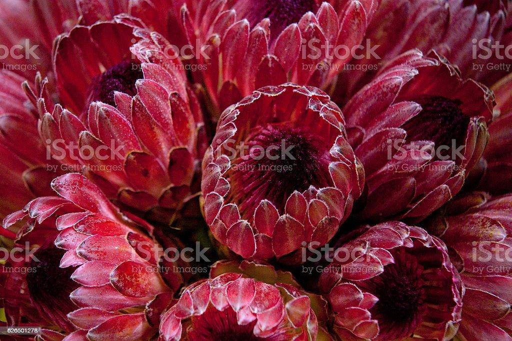 red protea stock photo