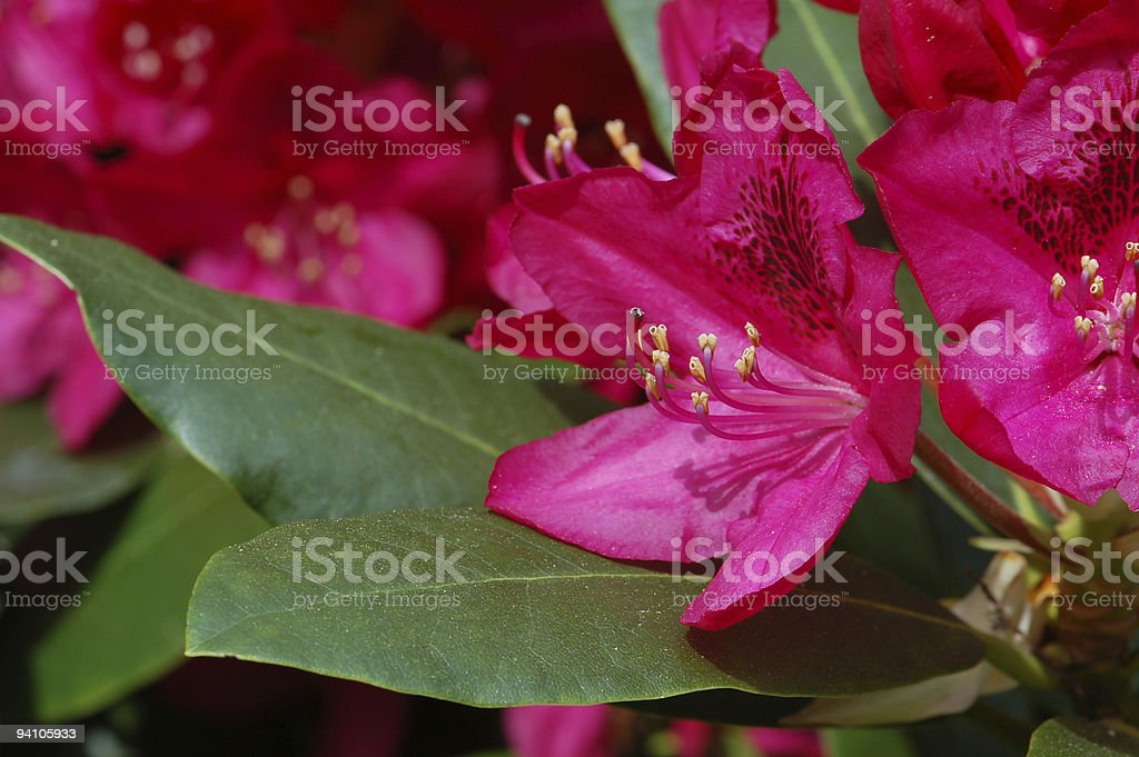 Red purple Rhododendron stock photo