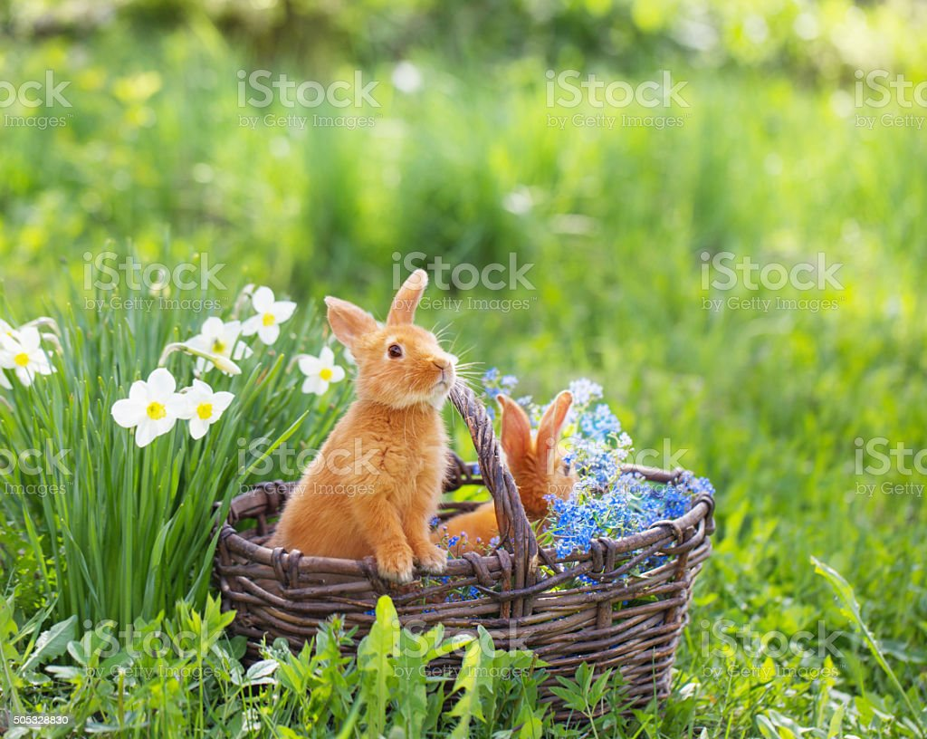 red rabbits outdoor stock photo