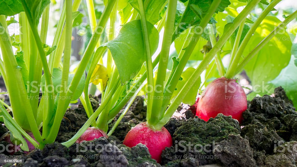 Red radish with leaves. foto de stock royalty-free
