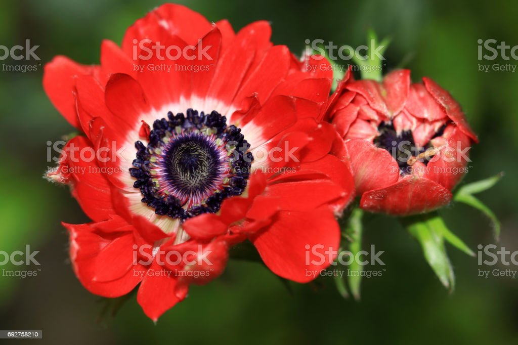 Red Ranelle-like Anemone flower stock photo