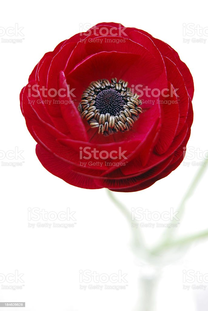 Red Ranunculus against White Background stock photo