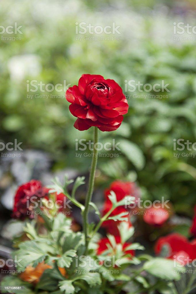 Red Ranunculus Flower royalty-free stock photo