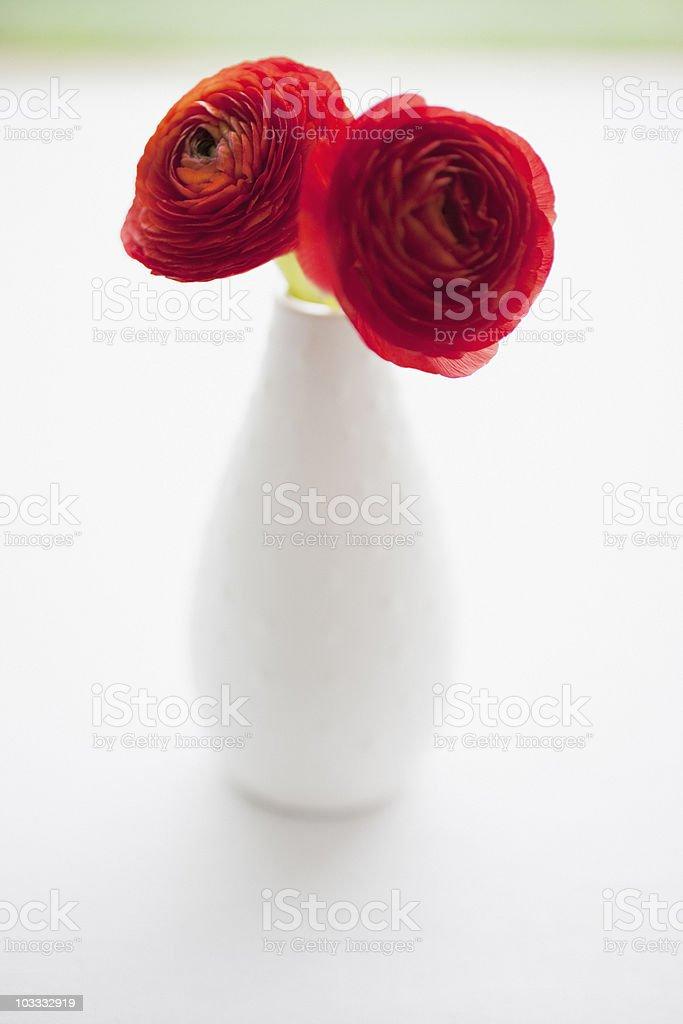Red ranunculus in vase royalty-free stock photo