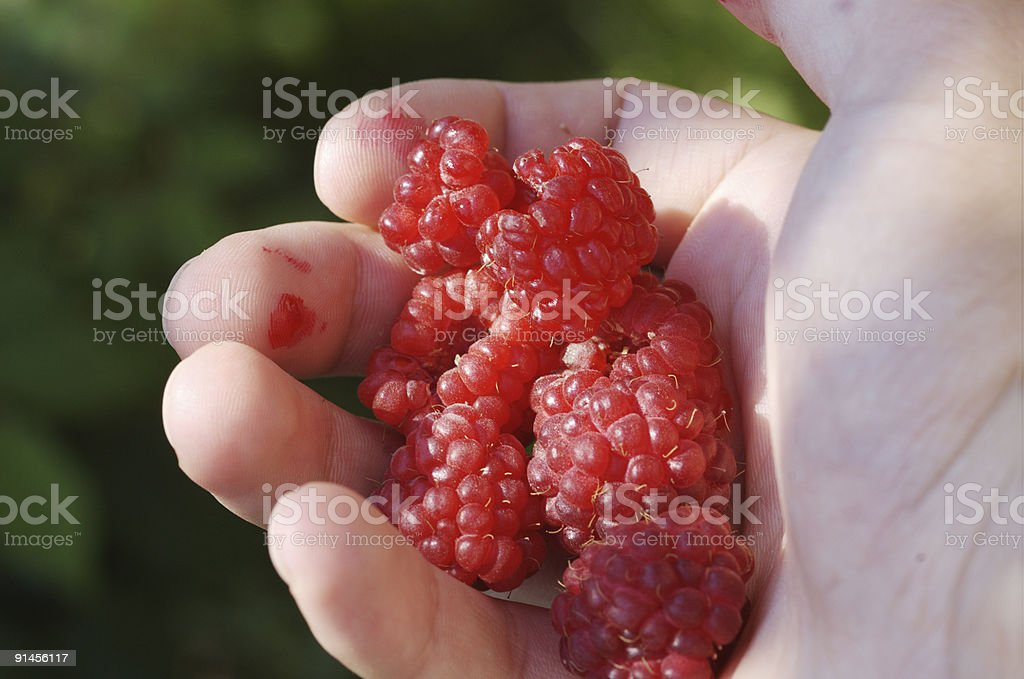 Red Raspberry on hand royalty-free stock photo