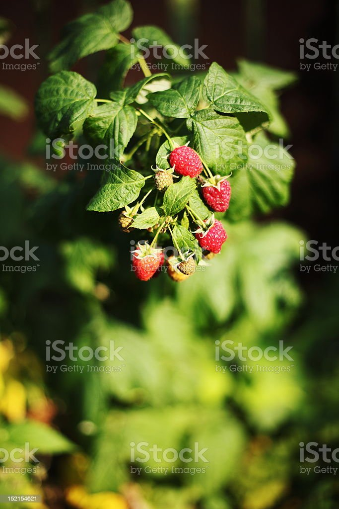 red raspberry royalty-free stock photo