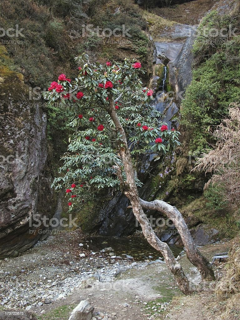 Red rhododendron royalty-free stock photo