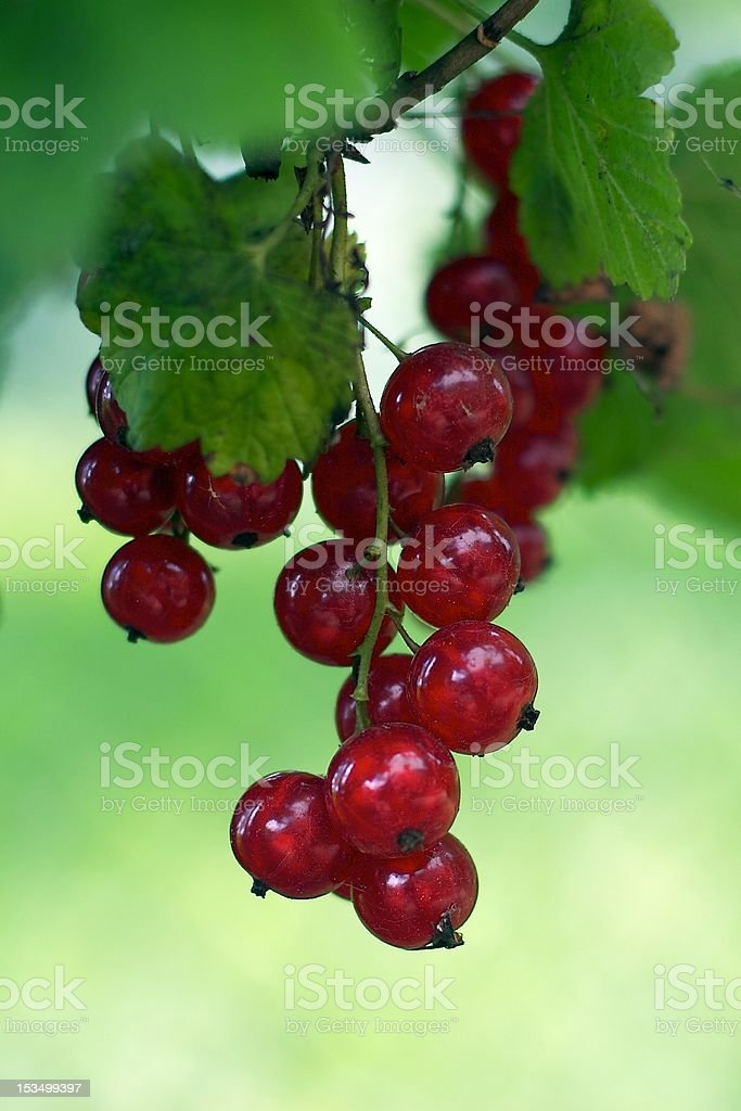 Red ribes stock photo
