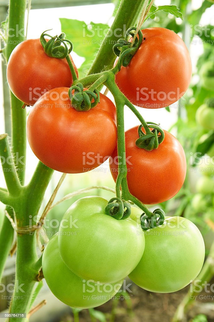 Red ripe and green unripe tomatoes on the branch stock photo
