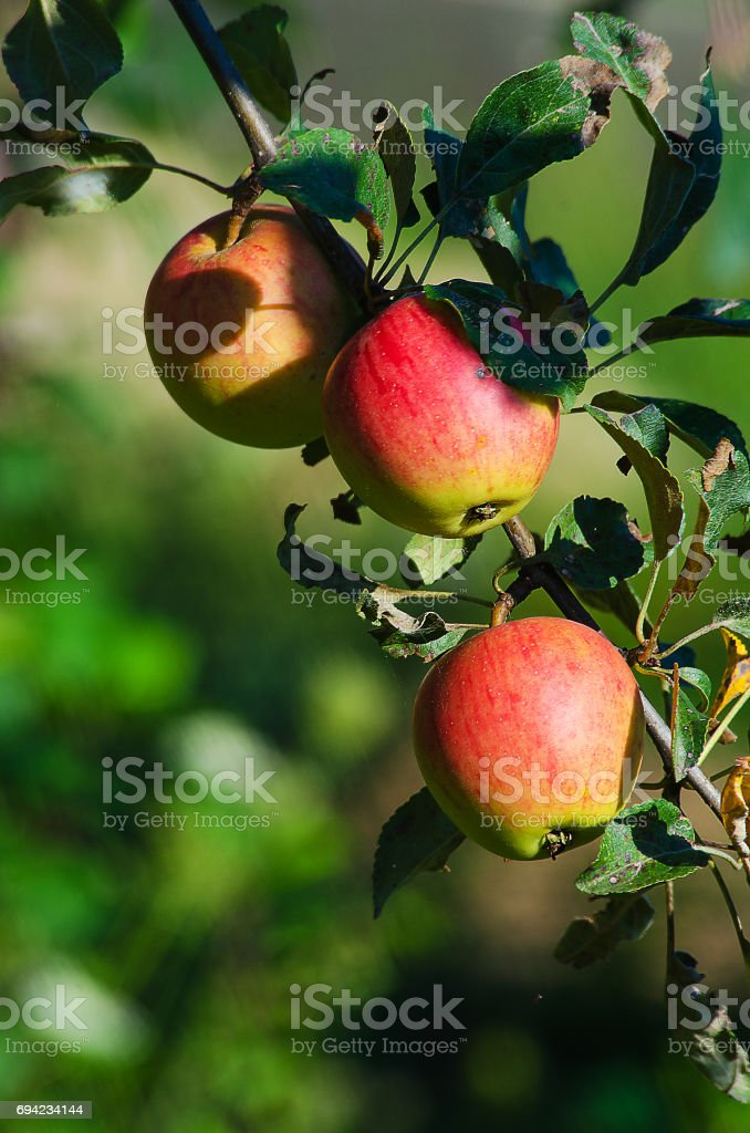Red ripe apples grow on a branch stock photo