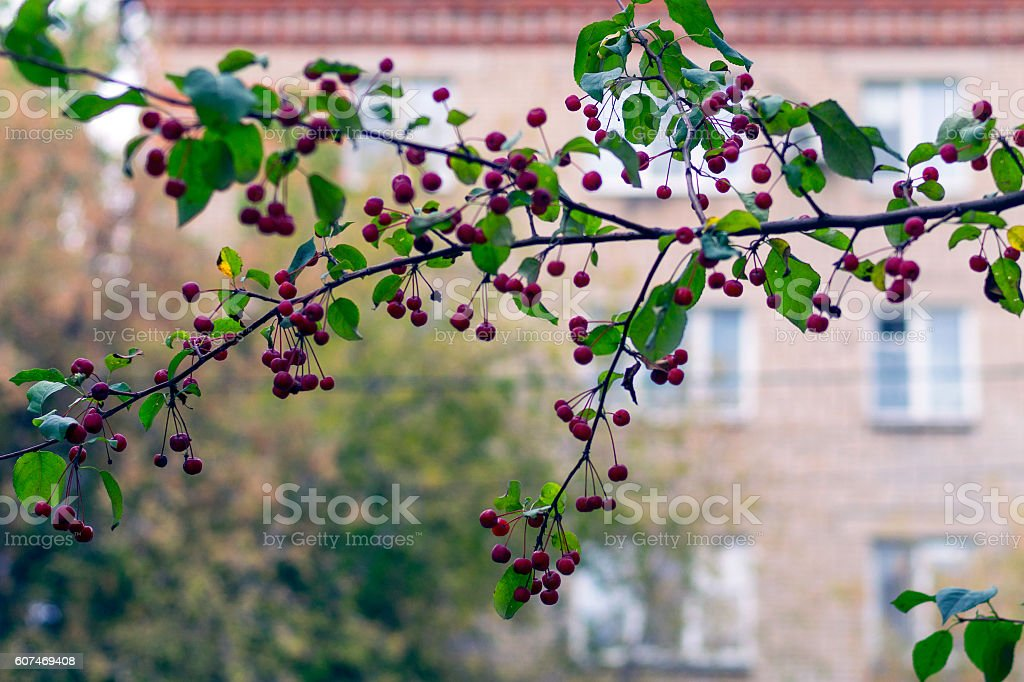 Red ripe apples on green branch: autmn in the city stock photo