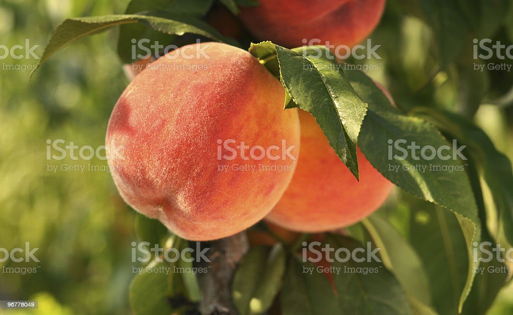 Red ripe peaches on a tree. stock photo