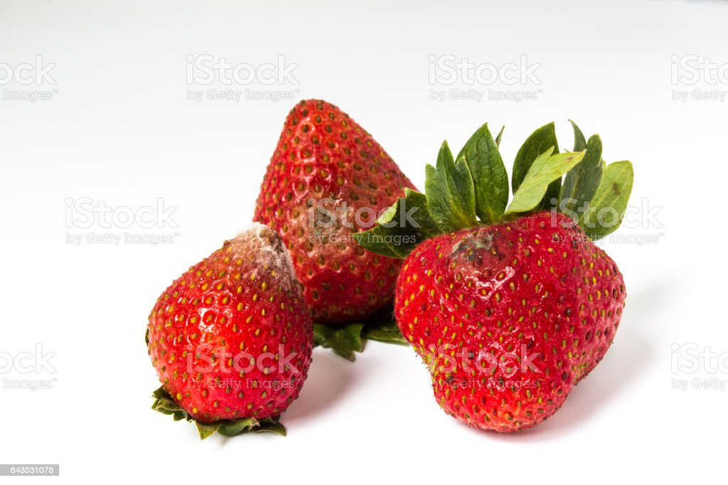 Red ripe strawberries rotten, which have a white mold. stock photo
