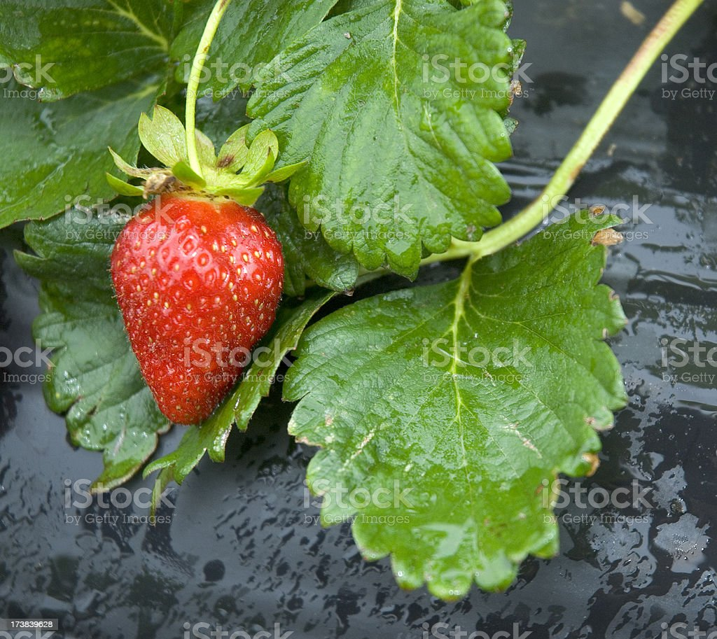 Red Ripe Strawberry On Vine At Pick Yourself Farm stock photo