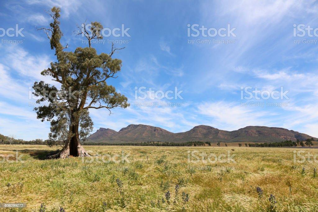 Red River Gum Tree, Cazneaux tree (Flinders Ranges) stock photo