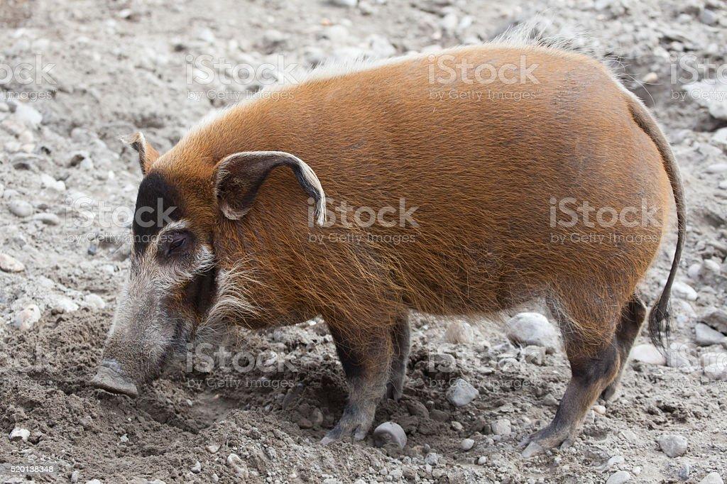 Red river hog (Potamochoerus porcus) stock photo