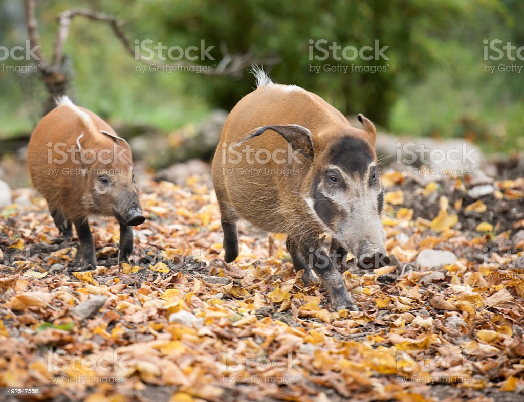 Red River Hog, Pinselohrschwein (Potamochoerus porcus) stock photo