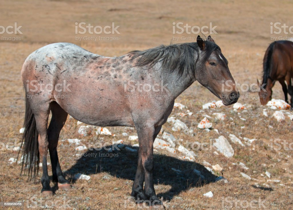 Red Roan mare wild horse mustang in Pryor Mountains stock photo