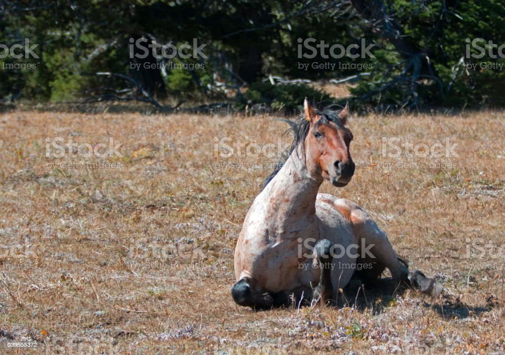 Red Roan Wild Stallion getting up from rolling in dust stock photo