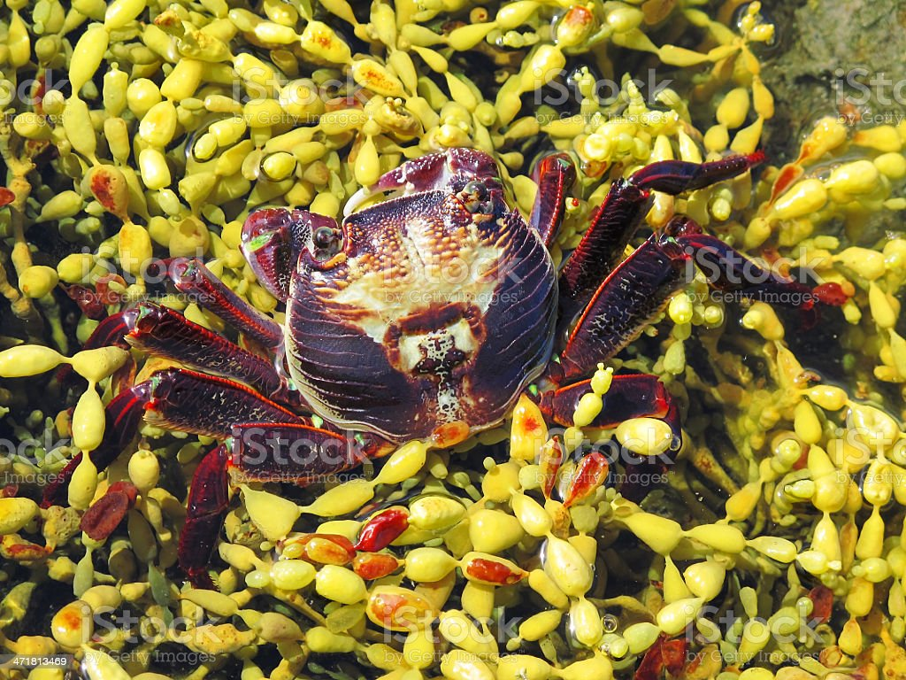 Red Rock Crab, Plagusia chabrus royalty-free stock photo