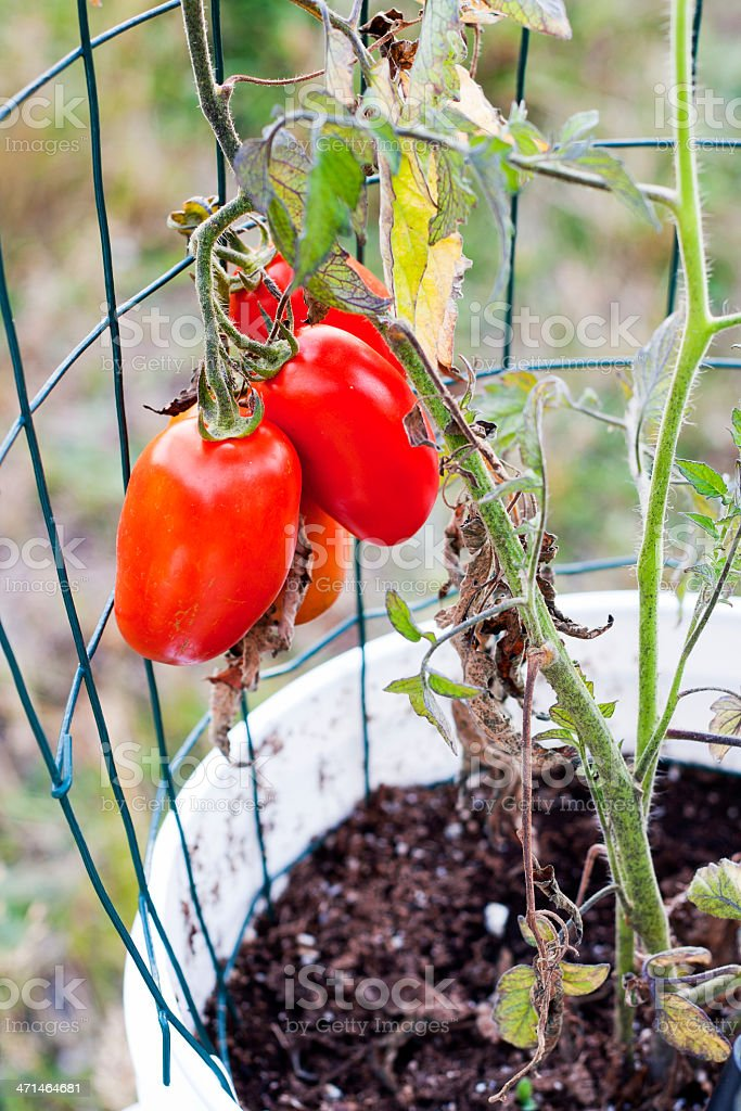 Red Roma Tomatoes in a Bucket Garden stock photo
