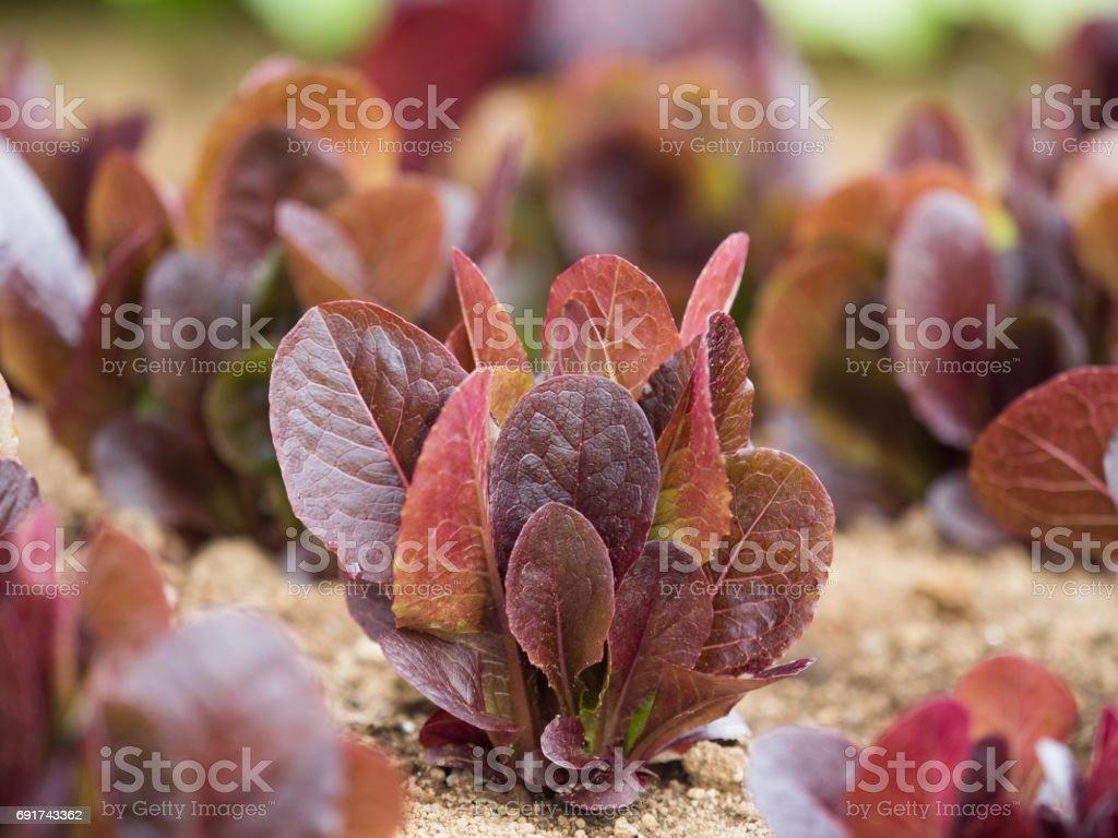 Red Romaine lettuce field stock photo
