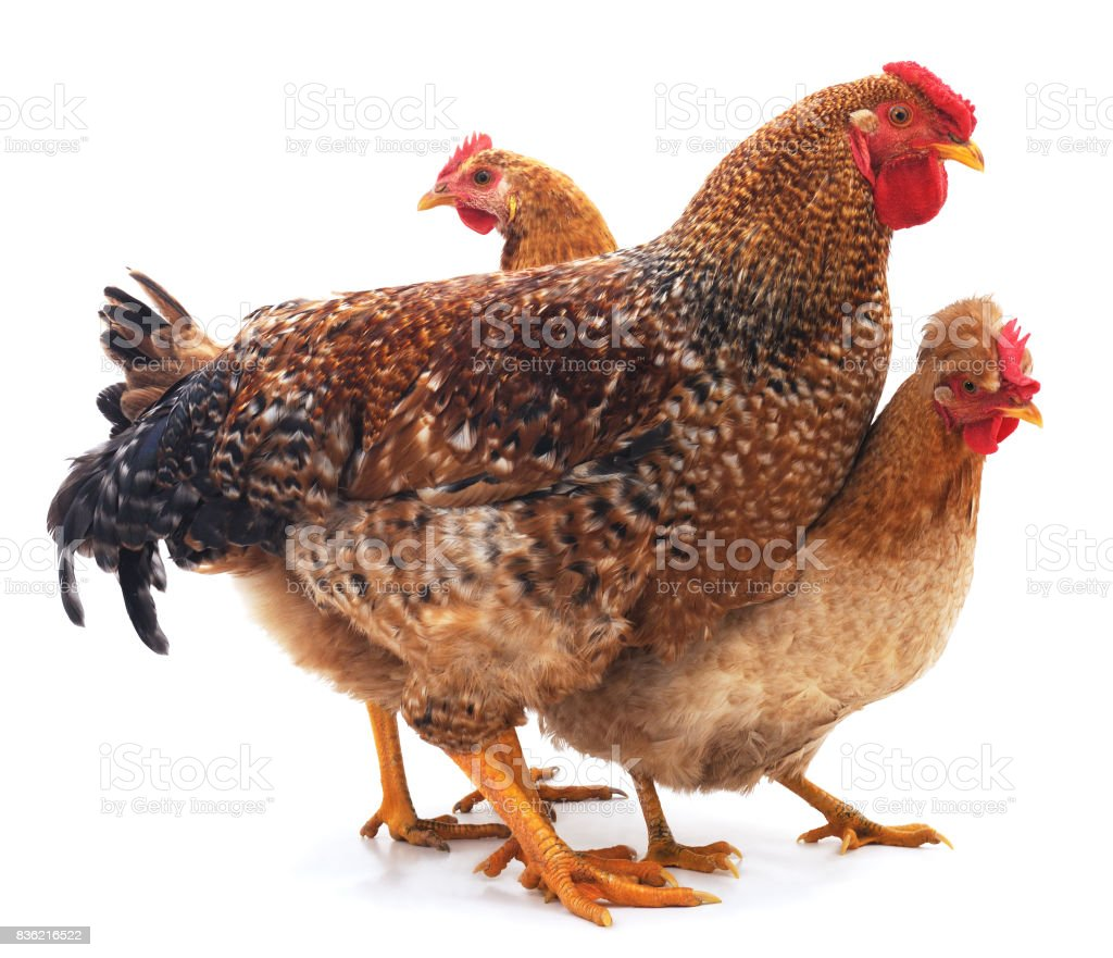 Red rooster and hens. stock photo