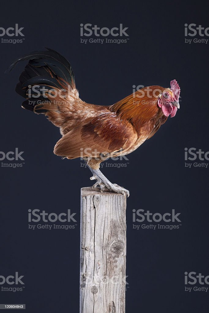 Red Rooster on Wooden Fence Post Isolated Black Background royalty-free stock photo