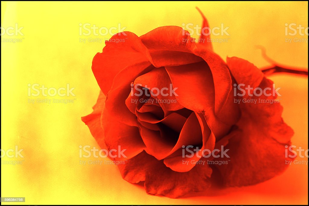Red rose 1 stock photo