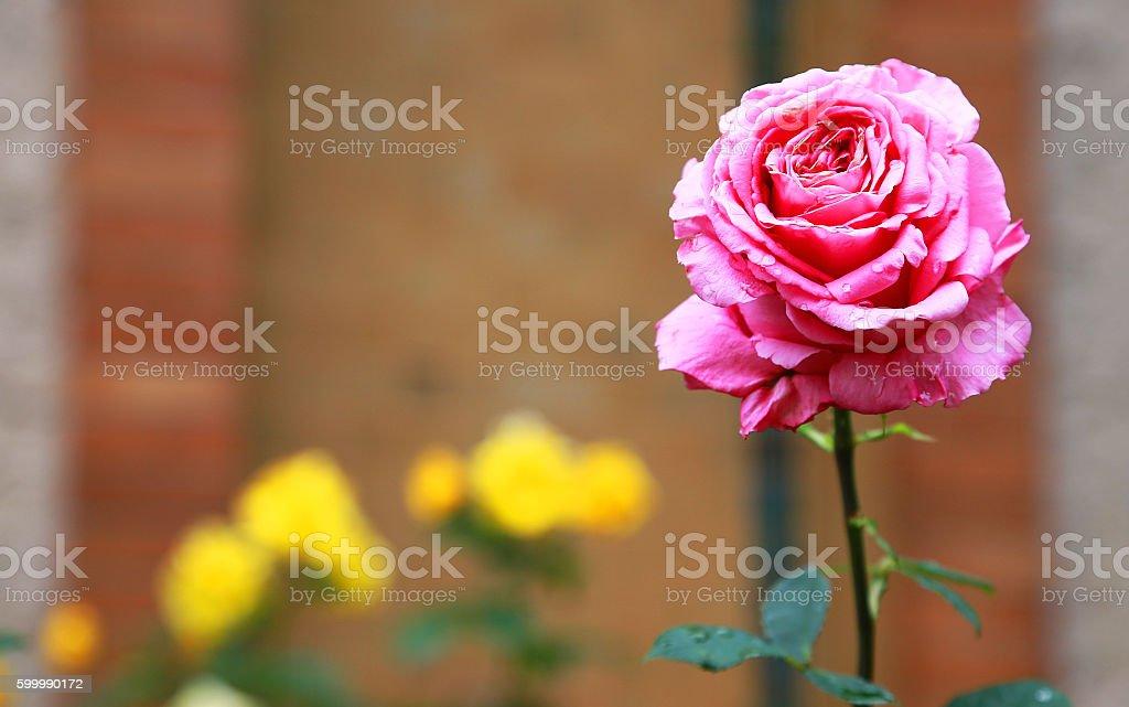 red rose and yellow flower foto de stock libre de derechos