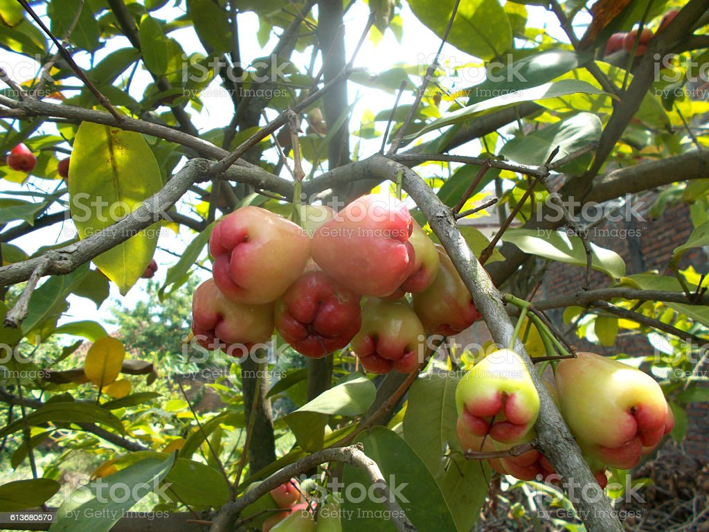 red rose apples on the tree stock photo