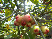 red rose apples on the tree