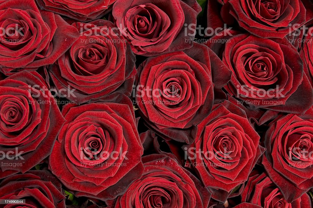 Red rose background stock photo