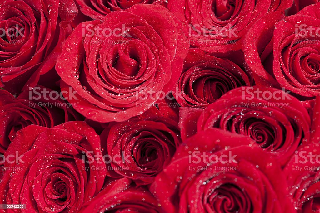 Red rose background royalty-free stock photo