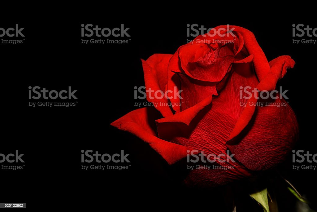 red rose black background stock photo