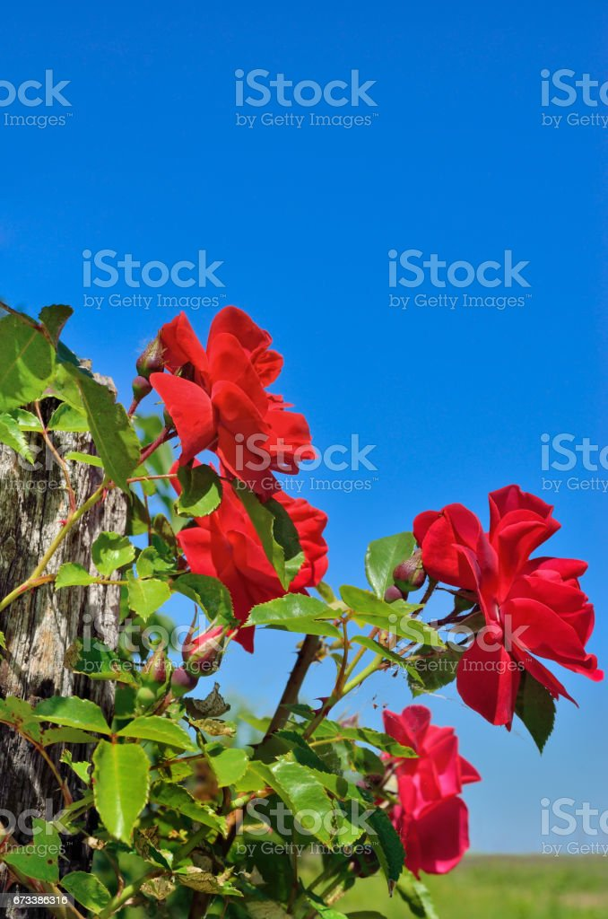 Red rose bloom in garden on background of blue sky stock photo