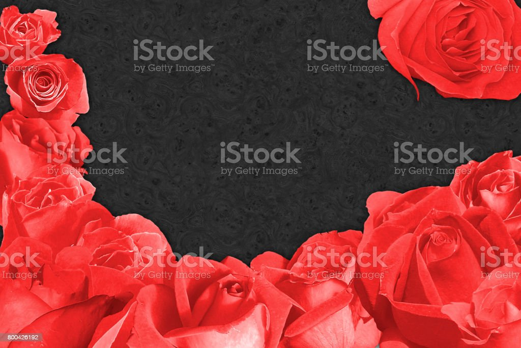 Red rose blossem over a dark background stock photo