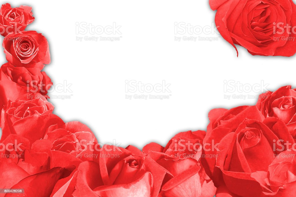 Red rose blossem over a white background stock photo