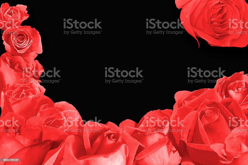 Red rose blossem over an very dark black background stock photo